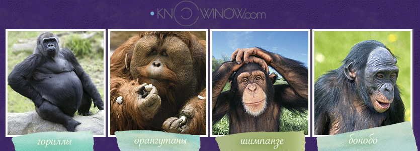 Братья наши обезьяны | knowinow.com